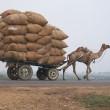 camel-897967_640
